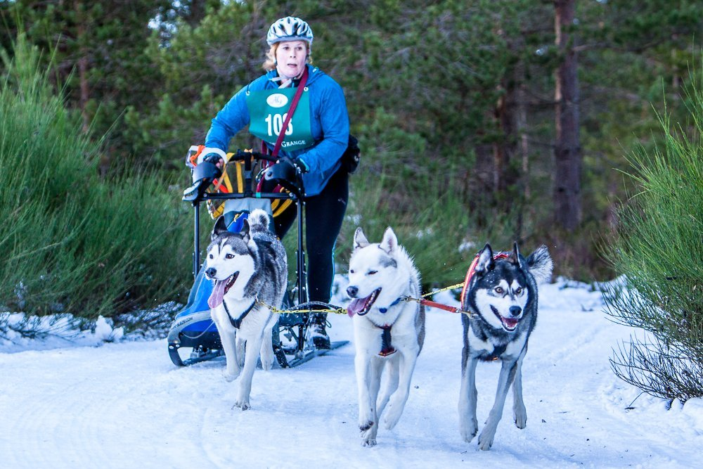 Sled dogs racing in the Glenmore Forrest near Aviemore