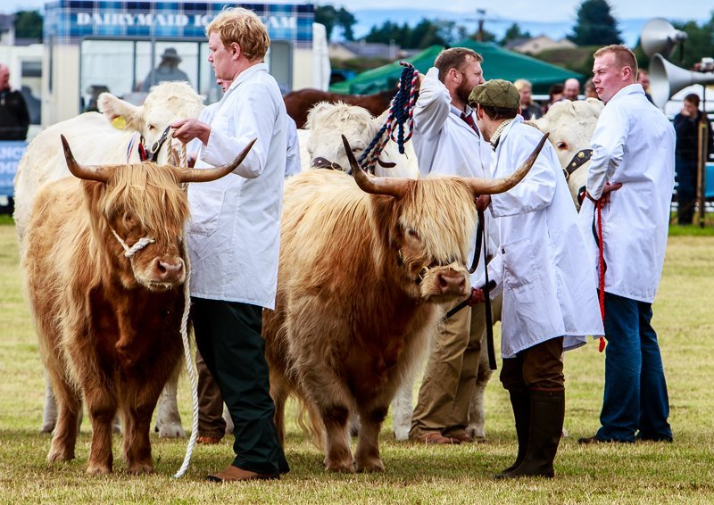 Highland Cows on Show