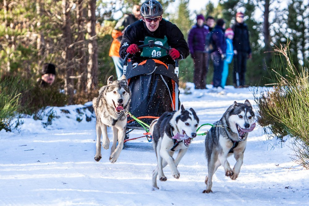 Sled dogs racing in the Scottish Highlands