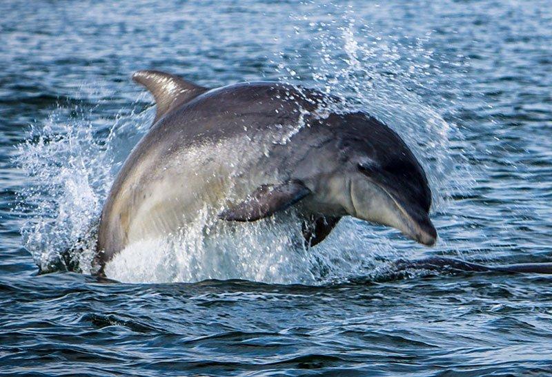 Moray Firth Dolphin