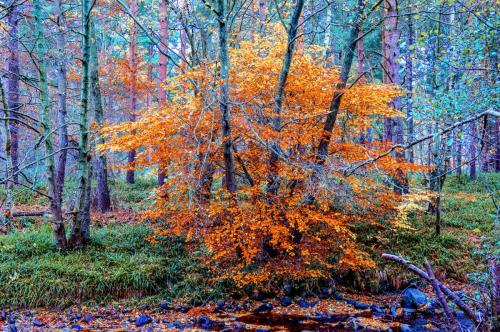 Autumn colour in the woodland in Cawdor woods