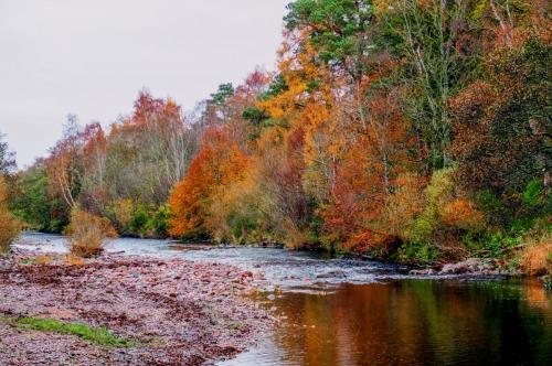 Autumn leaves on the copper beeches along the banks of the River Nairn