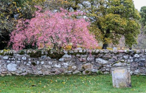 A tree in autumn colour just beyond the graveyard wall appears pink against the evergreens